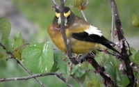 Evening Grosbeak head on!