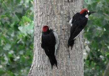 Our Woodpecker Family