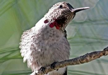 Hummingbird Twist