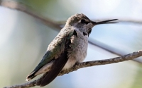 Hummingbird Cross Beak