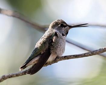 Hummingbird Cross Beak
