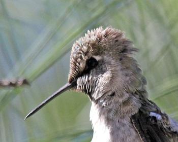 Hummingbird White